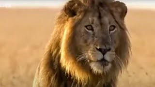 BBC: Lion Out of Africa? Why are all the lions disappearing?
