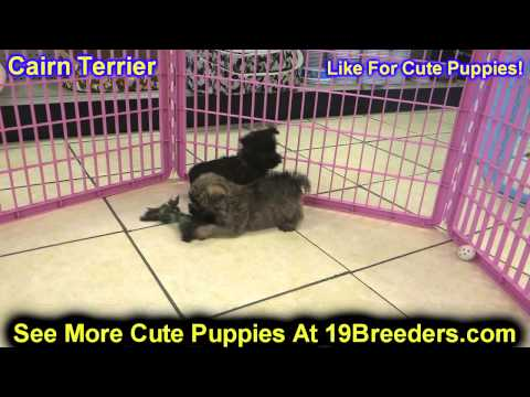 Cairn Terrier, Puppies, For, Sale In Toronto, Canada, Cities, Montreal, Vancouver, Calgary