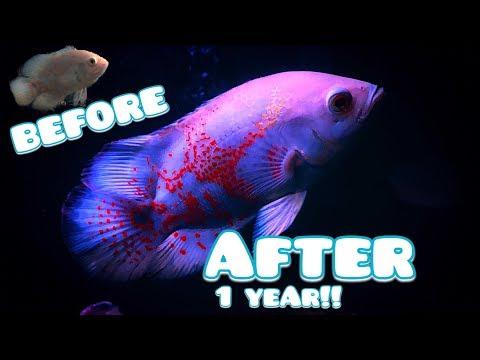 HOW BIG CAN AN OSCAR FISH GROW IN 1 YEAR!?! | Dee Fish Keeper