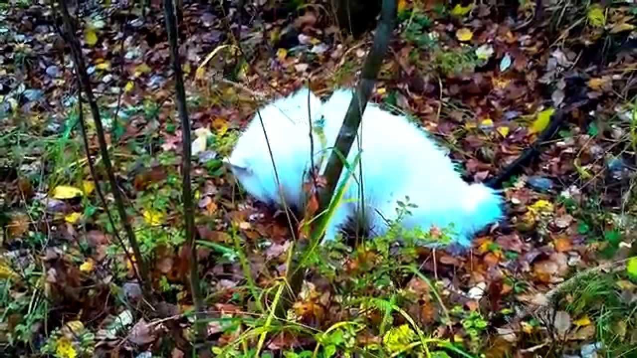 Acid Reflux -- Dog Eating Grass Vomiting Yellow Bile ...
