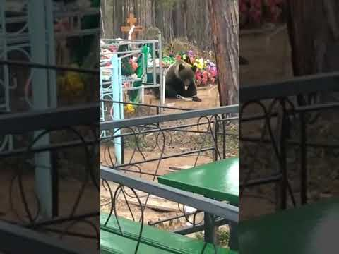 Медведь на кладбище