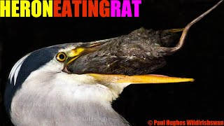 A heron is catching and eating a rat in one of the most incredible predators eats animals encounters