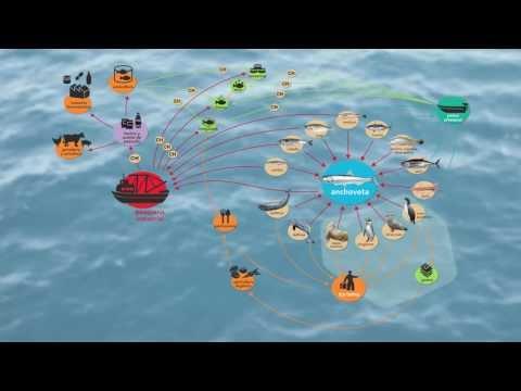La anchoveta y su rol ecosistémico
