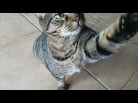 Cat Does Tricks Sit, Paw, High five, & Roll over