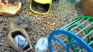 Джунгарики - веселые хомячки