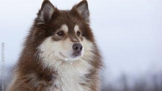 Lapinkoira / Finnish Lapphund