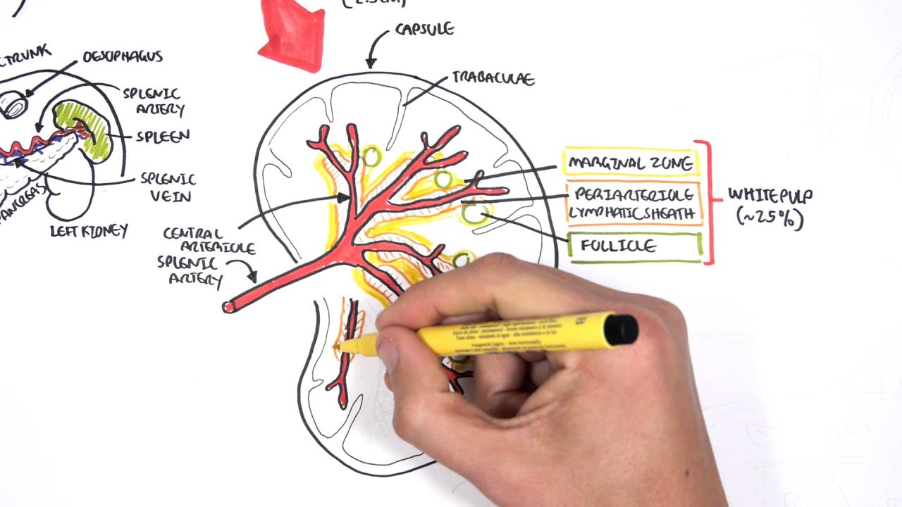 Spleen Anatomy and Physiology - YouTube