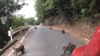 屋久島 栗生から永田方面の西部林道をドライブ中に出会った鹿と猿たち.