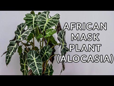 AFRICAN MASK PLANT (ALOCASIA) CARE & GROWING TIPS/JoyUsGarden