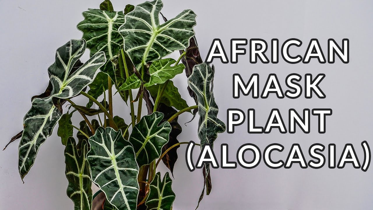 African Mask Plant Alocasia Care