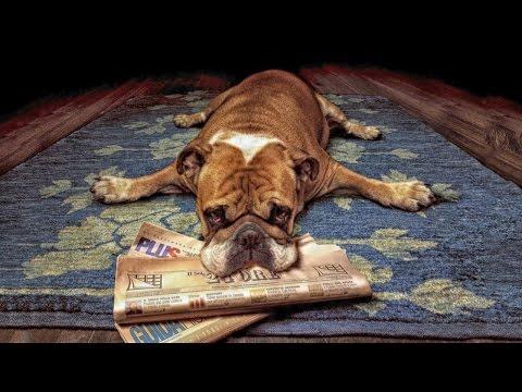 Топ 5 ленивых пород собак для ленивых хозяев