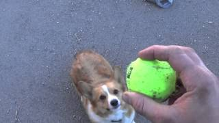 2015 Wiley The Pembroke Welsh Corgi Chasing Ball