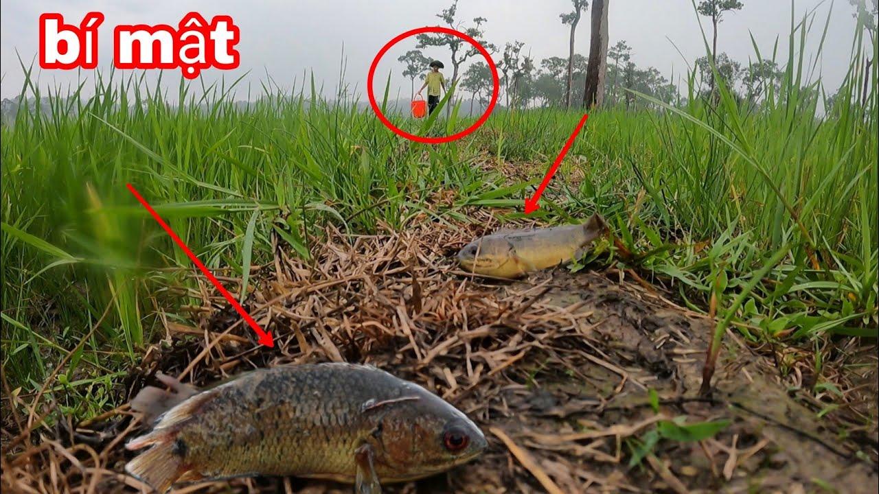 Cá RÔ ĐỒNG Bò Đầy Ruộng Sau Cơn Mưa Đầu Mùa