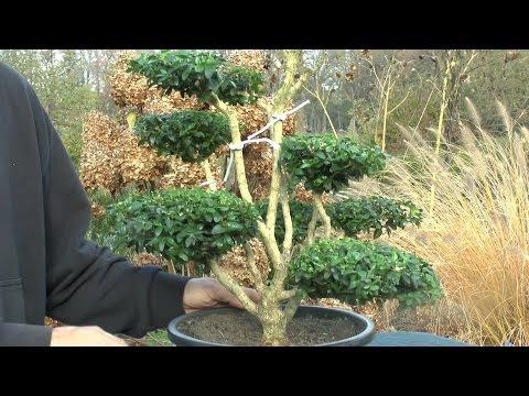 gartentipp august 0807 buchsbaum als bonsai schneiden f. Black Bedroom Furniture Sets. Home Design Ideas
