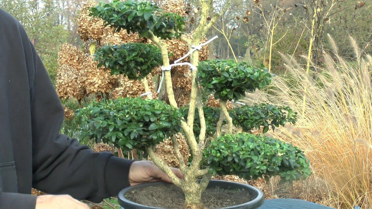 buchsbaum buxus boxwood formschnitt youtube