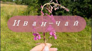 Делаем иван-чай: поля, природа, солнышко, cottagecore