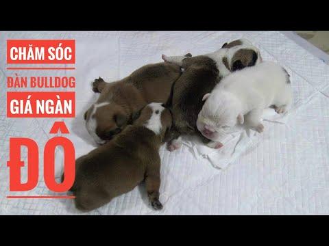 Kỳ Công Chăm Đàn Bulldog Sơ Sinh - Giá Ngàn Đô/ Englih Bulldog/ NhamTuatTV - Dog in Vietnam