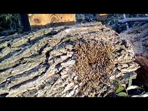 Как достать пчелиный рой с дупла дерева видео