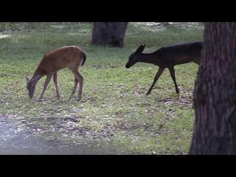 """Black White-tailed Deer   Melanistic """"Black Deer"""" Fawn in Texas"""