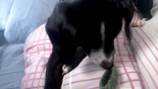 "Jack Russell- Pointer- Mix Puppy ""emma"" Going Crazy Over Her Treat :d"