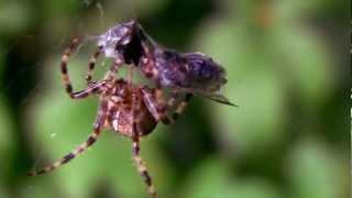 Spider eats two flies.