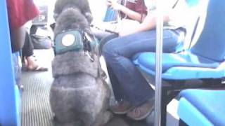 Service Poodle Public Access Test Part Iii: Bus, Friendly Dog