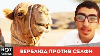 Верблюды против селфи. Прикол... ( HOT VIDEOS | Смотреть видео HD )