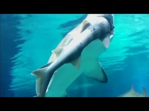 Shark Eats Another At Aquarium