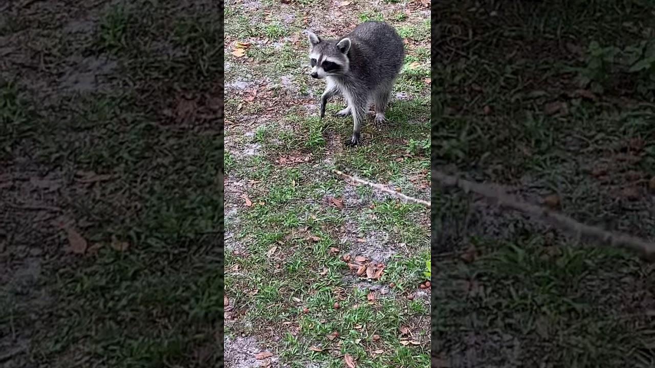Raccoon Attack (Pretty Insane)