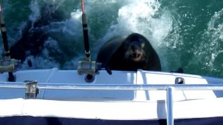 Sea Lions being fed on back of fishing boat - Cabo San Lucas
