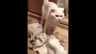 кошки. Секс и кот. Кот извращенец!!!!