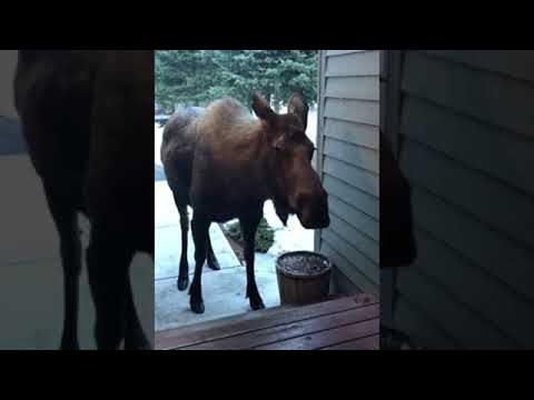 Surprise Visitors in Alaska Are a Little Different || ViralHog
