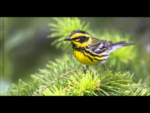 Townsend's Warbler Song