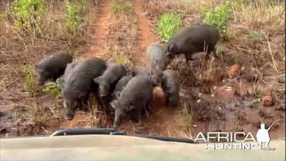 Hunting Giant Forest Hog in CAR - AfricaHunting.com