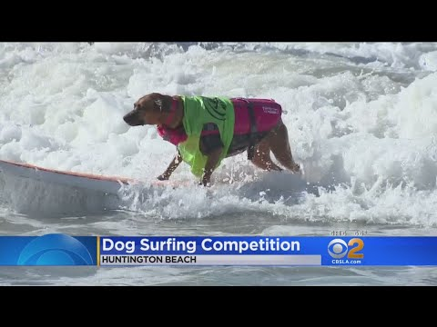 Paws Up! Dogs Catch Waves In Huntington Beach Surfing