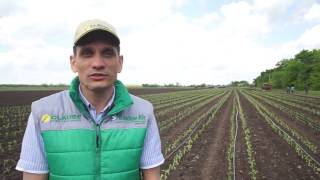 видео Выращивание сладкого перца в открытом грунте.