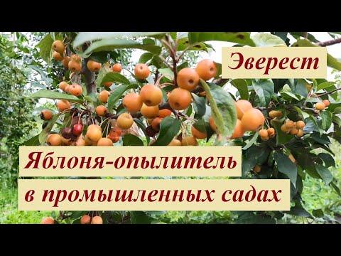 Яблоня-опылитель Эверест