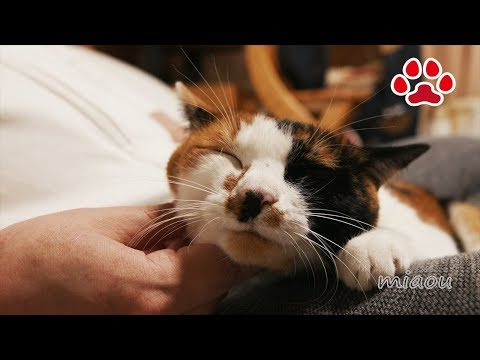 癒やされるわ 三毛猫のみけのご満悦な表情【瀬戸の三毛猫日記】Calico cat Mi ke looks so happy  Cats room Miaou