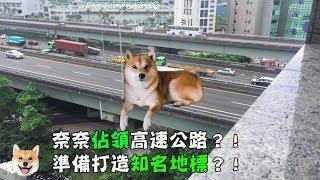 【柴犬Nana(奈奈)】奈奈佔領高速公路?打造知名地標!?