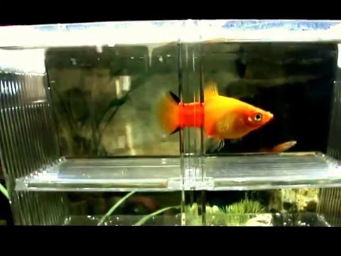 Tropical Fish Sunset Comet Platy's Gives Birth To 42 Fry
