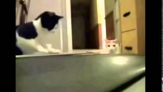 Смешные животные  Видео про кошек смешное бесплатно