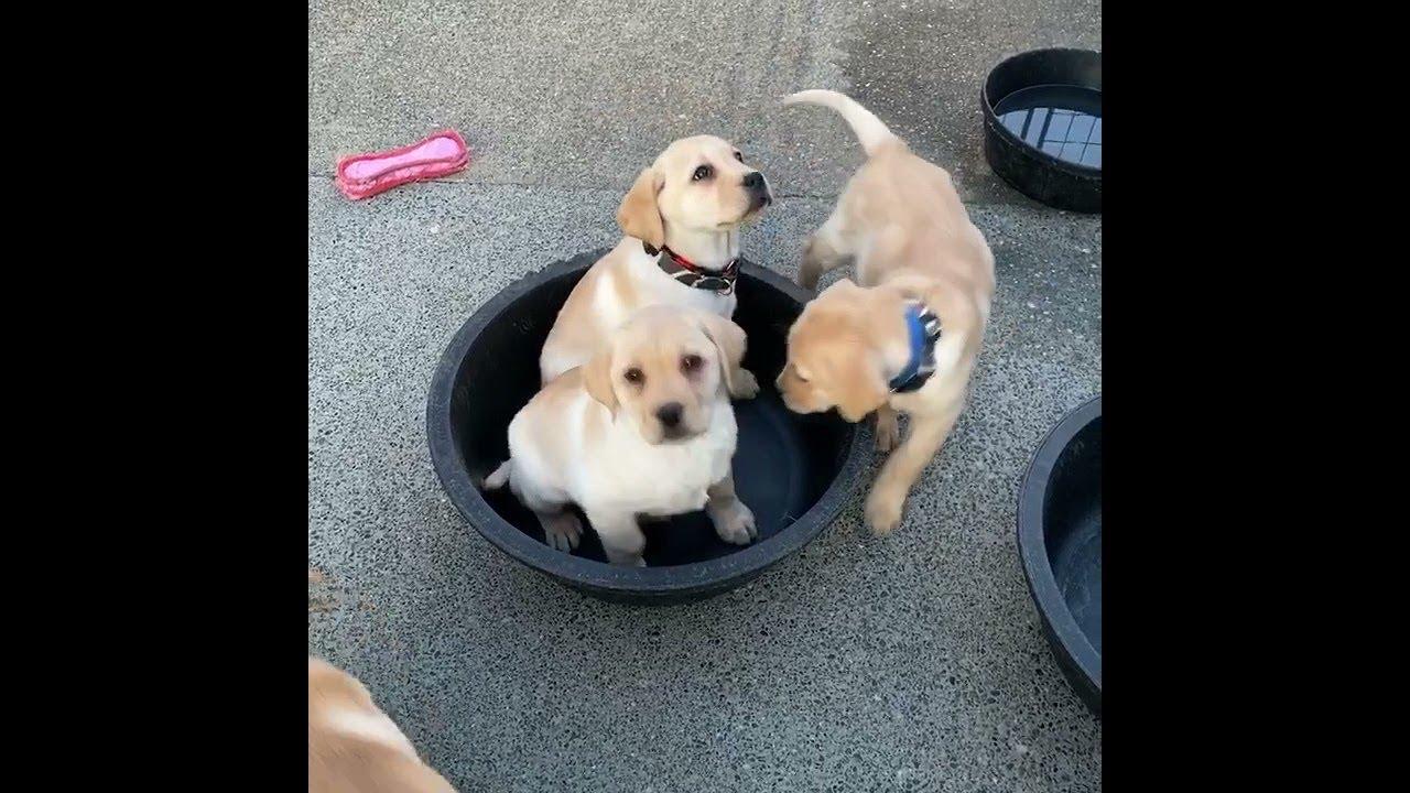 Six Puppies Climb into Small Bowl