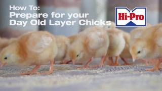 How to Raise Your Day Old Layer Chicks