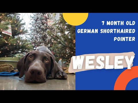 Wesley | 7 Month Old German Shorthair Pointer |  Off Leash Obedience | E-Collar Training