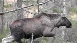 Elgjakt 2014- Okse skutt i los (Moose hunting 2014)