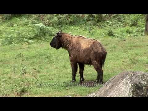The Takin of Bhutan is an ungainly animal!