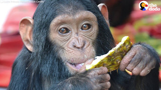 Chimp Rescue: Stolen From His Mom, Chimp Makes a New Friend | The Dodo
