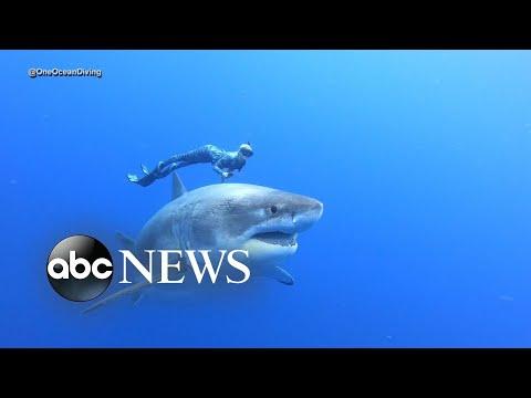 Divers swim alongside famous Deep Blue shark