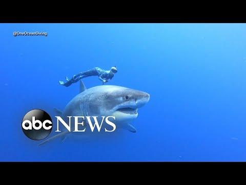 Leah Tyler Blog - Incredible Footage Of Diver With Massive Shark...