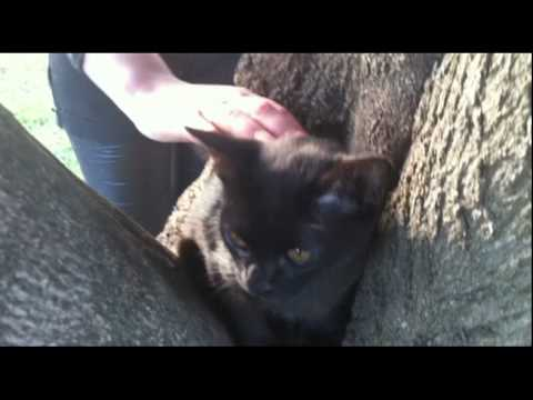 Fever in the Park - Starring Persephone Amber the Bombay Cat